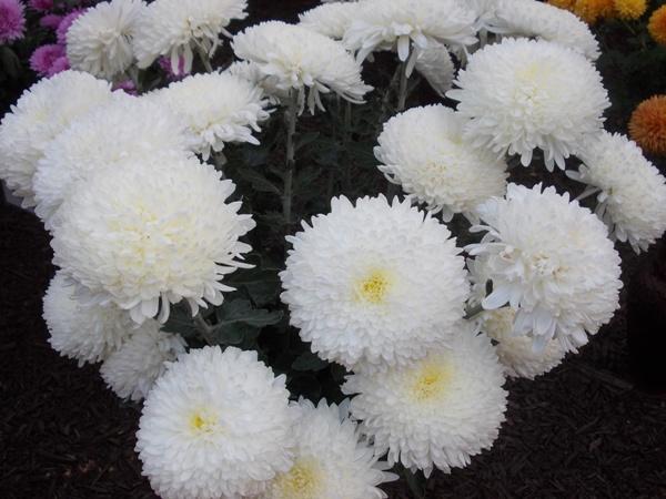 crizanteme_263