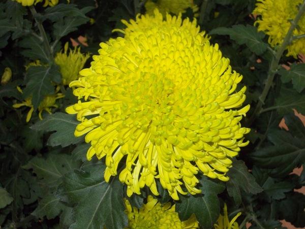 crizanteme_292