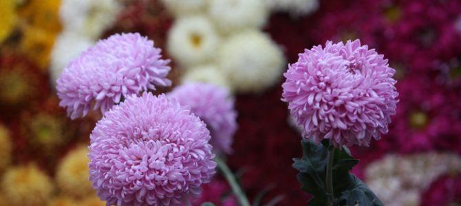 Crizantema, regina florilor de toamnă