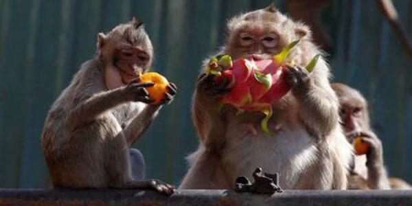 Banchet pentru maimuţe
