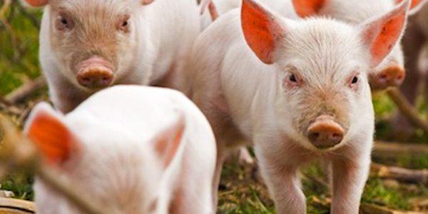 Porcii canadieni sunt răsfăţaţi pentru a satisface apetitul japonezilor
