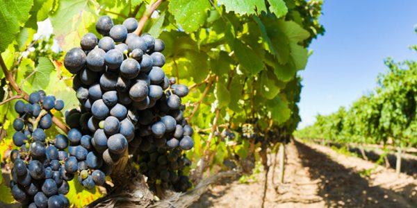 30 noiembrie, termenul limită pentru depunerea cererilor de plată pentru asigurarea recoltelor de struguri pentru vin