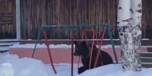 Un pui de urs încearcă să folosească un leagăn (video)