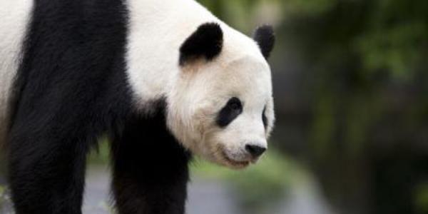 Un urs panda s-a luat la trântă cu un vizitator nepoftit