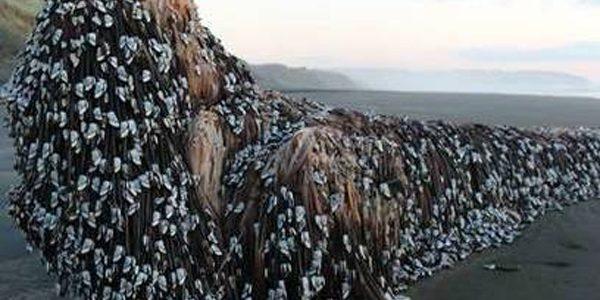 """""""Monstrul din Muriwai"""" a apărut pe o plajă din Noua Zeelandă"""