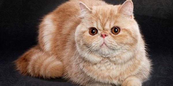 Pisica exotică cu păr scurt