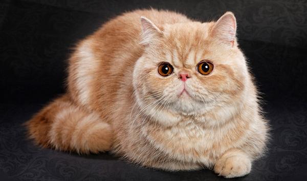 pisica-exotica