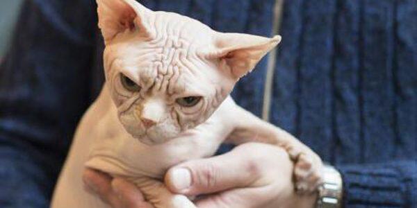 Înşelătorie ieşită din comun: pisici rase şi vândute drept exemplare de Sphynx