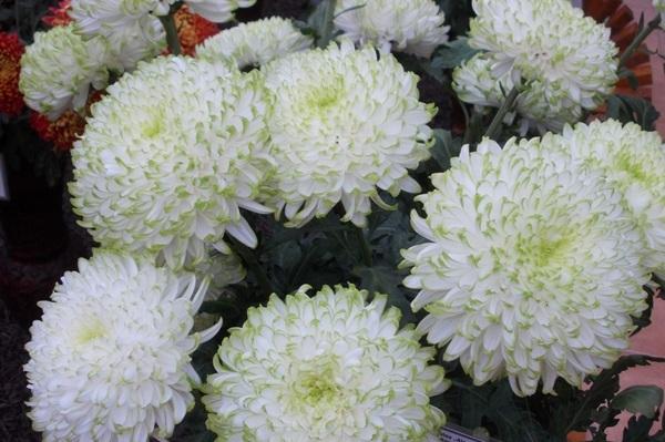 crizanteme246