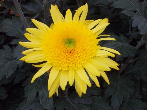 crizanteme_249