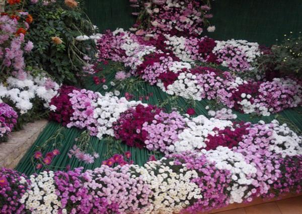 crizanteme_269