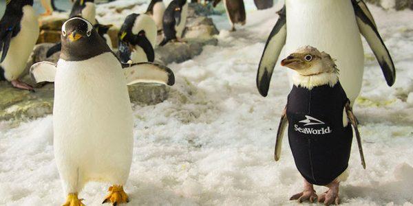 Un pinguin şi-a recapătat penele datorită unui costum termic