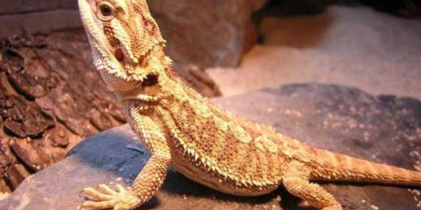 Dragonul bărbos