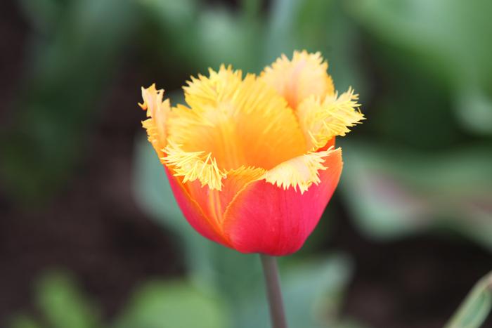 Flori 300