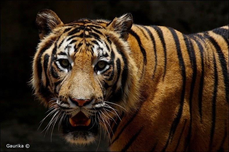 animale-India12