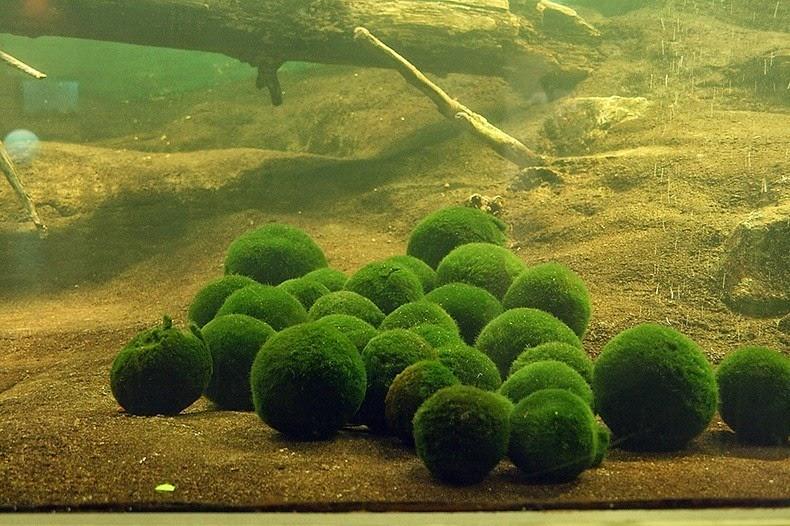 bile-alge5