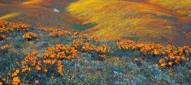Valea Antelope – Rezervaţia de maci din California
