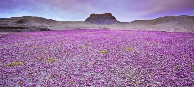 Flori sălbatice în deşertul Colorado