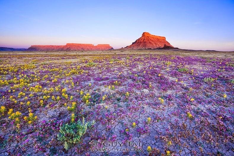 flori-salbatice-Colorado-03