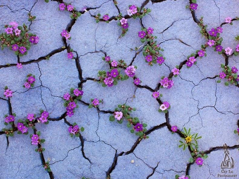 flori-salbatice-Colorado-05