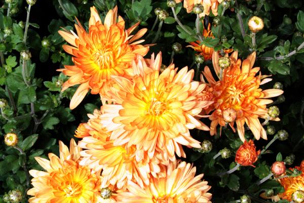 flori_crizanteme