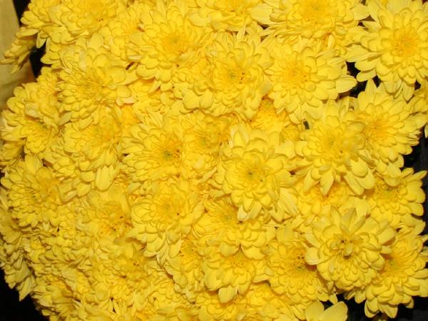 flori_crizanteme02