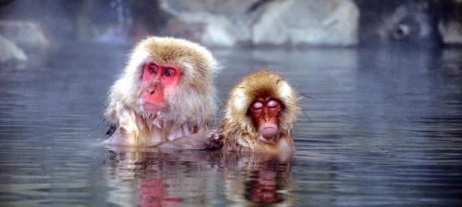 Maimuţele de zăpadă din Jigokudani