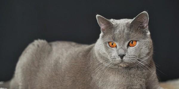 Pisica din rasa Chartreux, jucăuşă şi la bătrâneţe