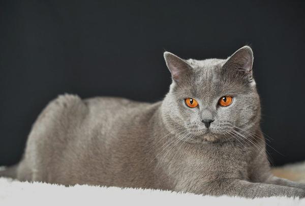 pisica-chartreux-02