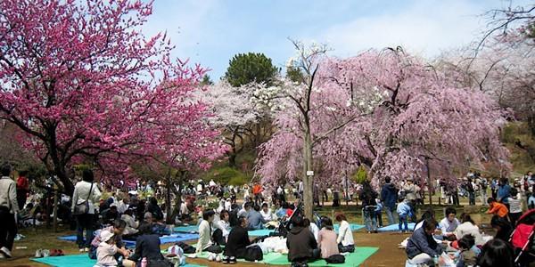 """Cireşii în floare, motiv de """"gâlceavă"""" asiatică"""