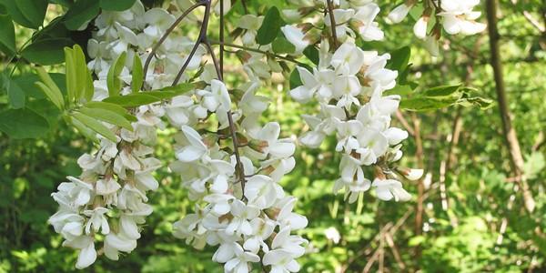 Leacuri din grădină: FLORI DE SALCÂM