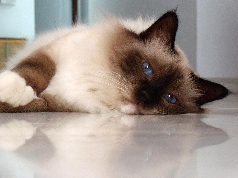 pisica-birmaneza-02