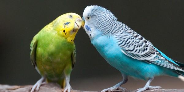 Papagalul peruş are nevoie de 10-12 ore de somn