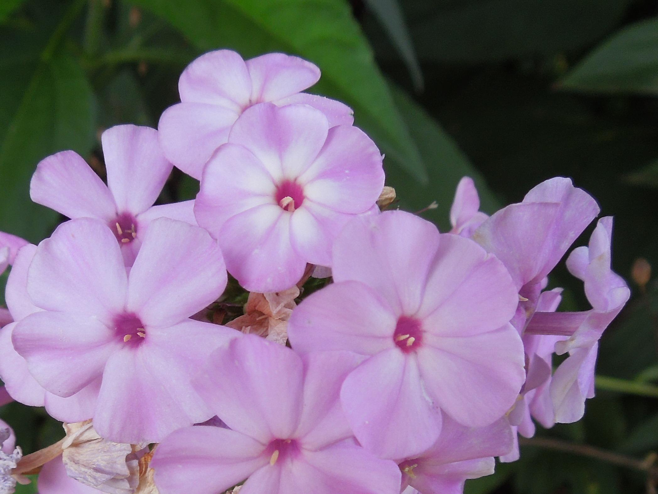 Flori-Liliac nemtesc