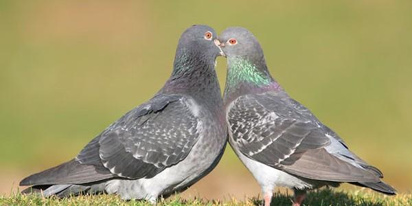 Porumbelul poate trăi 15-25 de ani