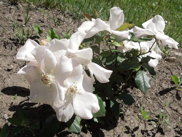 Flori 367