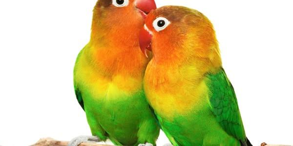 Pasărea dragostei