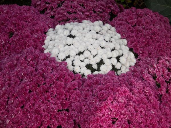 Crizanteme_01