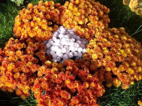 Crizanteme_10