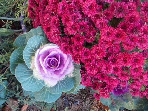Crizanteme_119