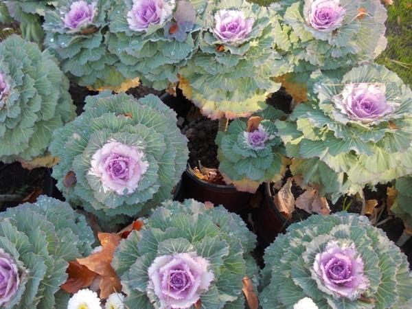 Crizanteme_151