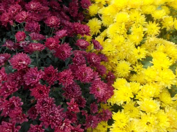 Crizanteme_92