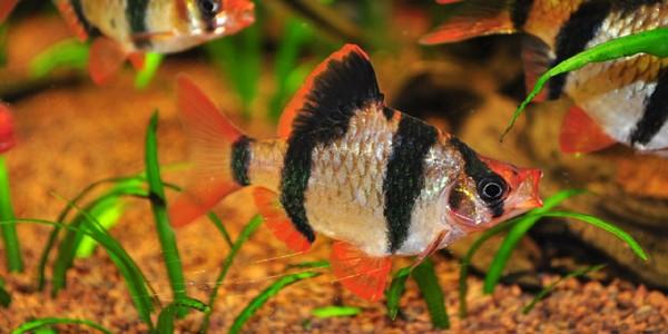 Peştele Barbus Tetrazona