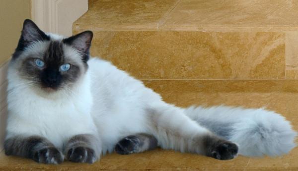 pisica-Ragdoll