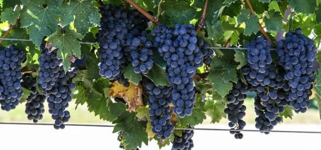 Cabernet Sauvignon, regele vinurilor roşii