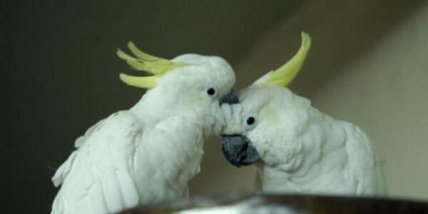 Papagalul Cacadu poate trăi 70 de ani