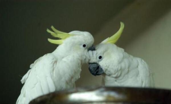 papagali-Cacadu