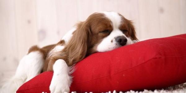 Câinii visează la fel ca oamenii