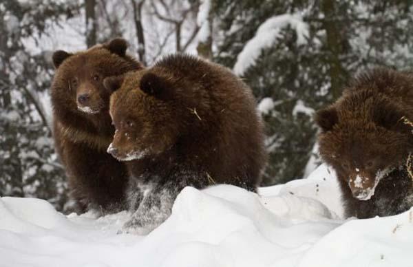 ursi-iarna