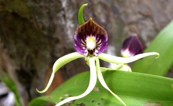 Floarea calmar